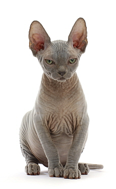 RF - Grey Sphynx kitten, age 11 weeks, sitting. (This image may be licensed either as rights managed or royalty free.)