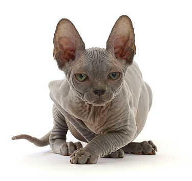 RF - Grey Sphynx kitten, age 11 weeks, portrait. (This image may be licensed either as rights managed or royalty free.)