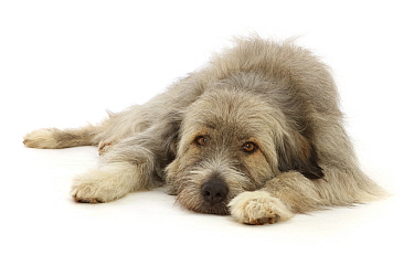 RF - Romanian rescue dog, lying chin on floor. (This image may be licensed either as rights managed or royalty free.)