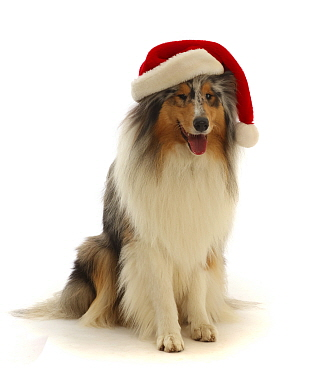 Rough Collie wearing a Father Christmas hat.