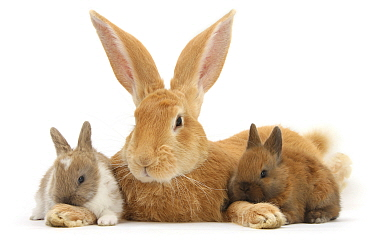 RF - Flemish Giant Rabbit, Toffee, and baby Netherland dwarf-cross rabbits. (This image may be licensed either as rights managed or royalty free.)