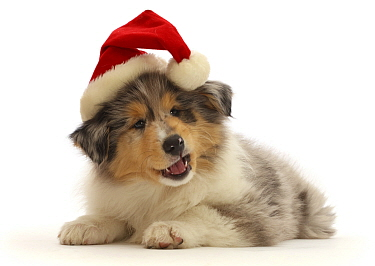 Rough Collie puppy, wearing a Father Christmas hat.