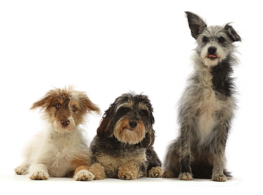 RF - Three mongrel dogs, sitting. (This image may be licensed either as rights managed or royalty free.)