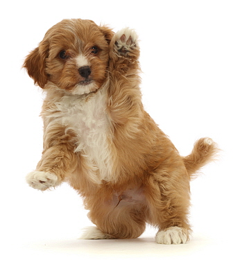 Red Cavapoo dog puppy, age 8 weeks, jumping up and waving.
