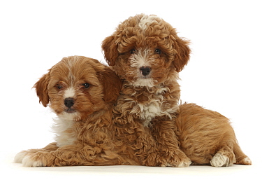 Two red Cavapoo dog puppies, age 8 weeks, lying down.