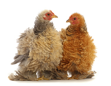 RF - Buff and cream frizzle bantam chickens, age 15 weeks. (This image may be licensed either as rights managed or royalty free.)