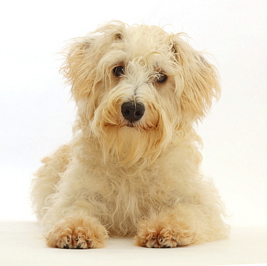 Cream coloured Schnoodle (Miniature Schnauzer x Poodle), age 7 months, lying with head up.