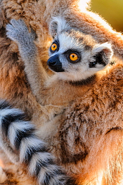 Baby ring-tailed lemur (Lemur catta). Carried by mother. Berenty Private Reserve, southern Madagascar.