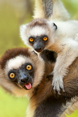 Female Verreaux's sifaka (Propithecus verreauxi) carrying infant in forest canopy. Berenty Private Reserve, southern Madagascar.
