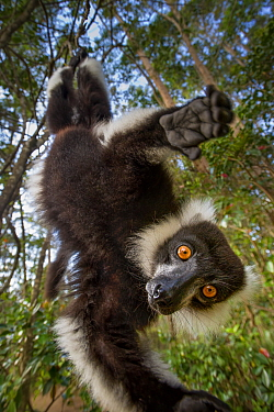 Black-and-white ruffed lemur (Varecia variegata) in forest canopy. Andasibe-Mantadia National Park, eatern Madagascar.