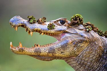 Yacare Caiman (Caiman yacare) at the edge of the Piquiri River, northern Pantanal, Brazil. Gaping to regulate its body temperature (thermoregulation).