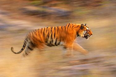 Male Bengal Tiger - Sundar (B2) (Panthera tigris tigris) running and patrolling territory. Bandhavgarh National Park, Madhya Pradesh, India.