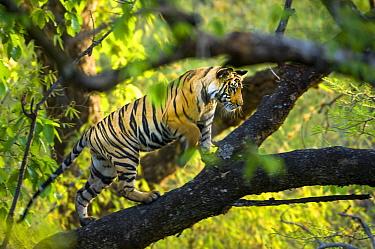 Adolescent male Bengal Tiger (Panthera tigris tigris) (around 15 months) climbing a tree. Bandhavgarh NP, Madhya Pradesh, India.