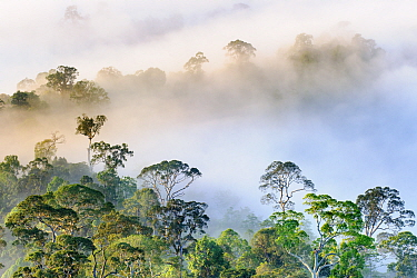 Mist hanging over Lowland Dipterocarp Rainforest just after sunrise. Danum Valley Conservation Area, Sabah, Borneo.