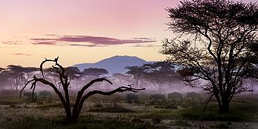 Herd of White-bearded Wildebeest (Connochaetes taurinus albojubatus) at first light. Annual Serengeti-Masai Mara migration. Near Ndutu, Ngorongoro Conservation Area, Serengeti Ecosystem, Tanzania. Mar...