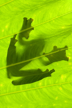 Silhouette of Wallace's Flying Frog (Rhacophorus nigropalmatus) on palm leaf. Danum Valley, Sabah, Borneo.