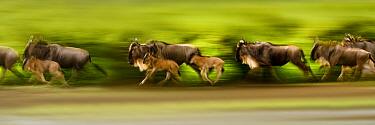 Herd of White-bearded Wildebeest (Connochaetes taurinus albojubatus) with calves, running during the annual Serengeti-Masai Mara migration. Near Ndutu, Ngorongoro Conservation Area, Serengeti Ecosyste...