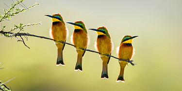 Four Little bee-eaters (Merops pusillus) perched on branch, Seronera Valley, Serenegeti National Park, Tanzania.