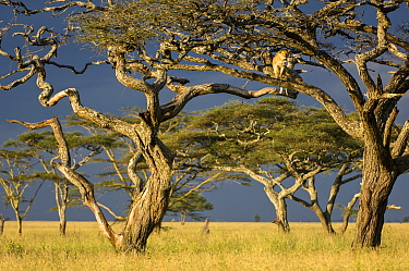 RF - African lioness (Panthera leo) using Umbrella acacia tree (Acacia tortillis) as a lookout. Ngorongoro Conservation Area / Serengeti National Park, Tanzania. (This image may be licensed either as...