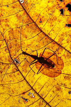 RF - Violin Beetle (Mormolyce borneensis) on decaying leaf on the rain forest floor. Near Ginseng Camp, Maliau Basin, Sabah, Borneo (This image may be licensed either as rights managed or royalty free...