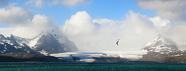 RF - Wandering albatross (Diomedea exulans) flying over the Bay of Isles with Salisbury Plain glacier in the background. South Georgia, South Atlantic. Digitally stitched image. (This image may be lic...