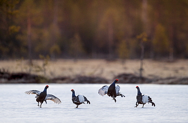 RF - Black Grouse (Tetrao tetrix) - males fighting on frozen lake at sunrise. Kuhmo, Finland, April. (This image may be licensed either as rights managed or royalty free.)