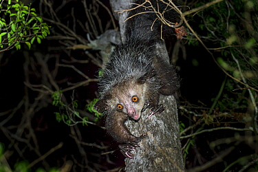 RF - Aye-aye (Daubentonia madagascariensis) female foraging in the middle canopy. Daraina, northern Madagascar. Endemic. Endangered. (This image may be licensed either as rights managed or royalty fre...