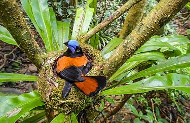 Adult Helmet Vanga (Euryceros prevostii) incubating a clutch of 3 eggs. Nest constructed in the fork of a Bird's Nest Fern (Asplenium sp.). Masoala National Park, north east Madagascar.