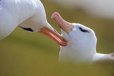 RF - Pair of black-browed albatross (Thalassarche melanophrys) greeting one another - courtship. Bay of Isles, South Atlantic. January. (This image may be licensed either as rights managed or royalty...