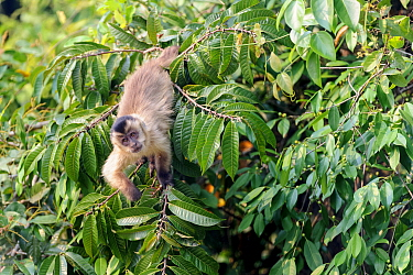 RF - Black-striped tufted capuchin (Cebus libidinosus) in deciduous forest along the banks of the Pixiam River, Northern Pantanal, Brazil. (This image may be licensed either as rights managed or royal...