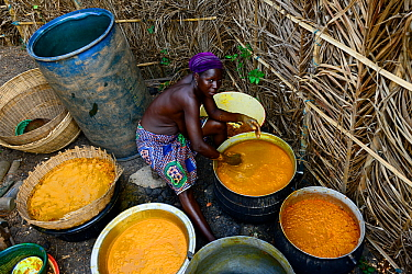Holi tribeswoman preparing and processing Palm oil, an oil widely used throughout the country. Benin, 2020.