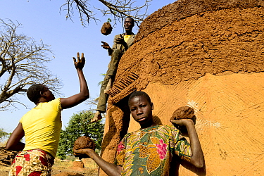 Somba family using mud to repair their traditional house, the Land of the Batammariba, Benin, February 2020