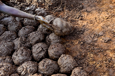 Balls of mud used by Somba family to repair their traditional mud house, Land of the Batammariba, Benin, 2020.