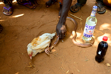 Snake held near to tied up chicken.. Chicken will be sacrificed in a voodoo ceremony. Benin, 2020.