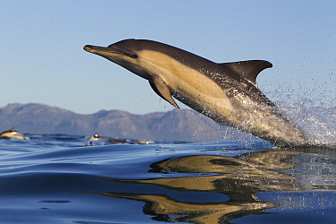 Common dolphin (Dephinus delphis) porpoising, False Bay, Cape Town, South Africa.