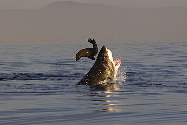 Great white shark (Carcharodon carcharias) attacking Cape fur seal (Arctocephalus pusillus) Seal Island South Africa.