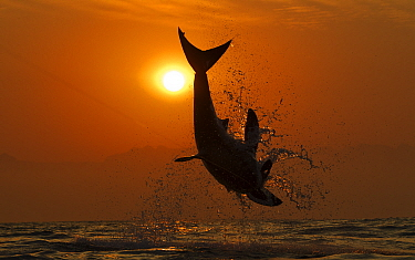 Great white shark (Carcharodon carcharias) breaching on seal decoy at sunrise, Seal Island, False Bay South Africa.