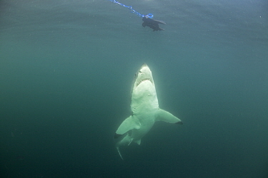 Great white shark (Carcharodon carcharias) investigating seal decoy, Seal Island, False Bay, South Africa.