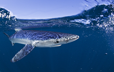 Blue Shark (Prionace glauca) Cape Point, South Africa.