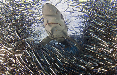 Blue Shark (Prionace glauca) feeding on Anchovy (Engraulis encrasicolus) bait ball, Cape Point, South Africa.