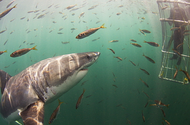 Great white shark (Carcharodon carcharias) investigating cage diver, Seal Island, False Bay, South Africa.