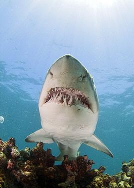 Ragged tooth shark (Carcharias taurus) showing teeth, De Hoop, South Africa.