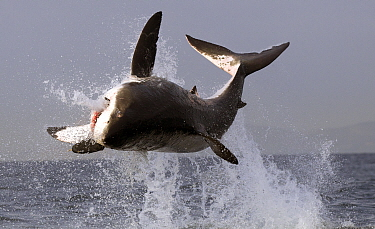 Great white shark (Carcharodon carcharias) breaching on seal decoy, Seal Island, False Bay, South Africa.