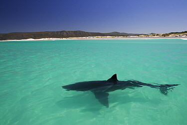 Great white shark (Carcharodon carcharias) cruising on the surface, Dyer Island, Gansbaai, South Africa