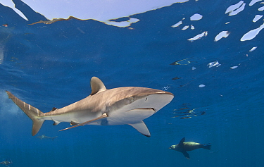 Silky shark (Carcharhinus falciformes) and Cape fur seal (Arctocephalus pussilus) Cape Point, South Africa.