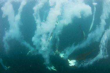 Cape Gannets (Morus capensis) diving underwater to feed on sardines, Port St Johns, Transkei, South Africa.