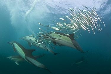 Common dolphin (Dephinus delphis) pod feeding on Sardines (Sardinops oecllata) Port St Johns, Transkei, South Africa.