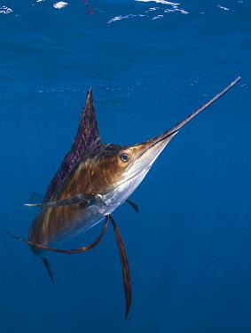 Indo Pacific Sailfish (Istiophorus platypterus), Isla Mujeres, Mexico.