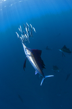 Indo Pacific Sailfish (Istiophorus platypterus) feeding on sardines, Isla Mujeres, Mexico.
