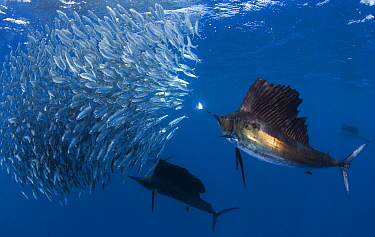 Indo Pacific Sailfish (Istiophorus platypterus) group feeding on sardines, Isla Mujeres, Mexico.